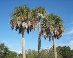 palm tree trimming live oak florida